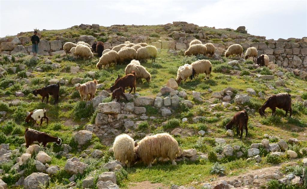 Goats and sheep at Heshbon, Jordan